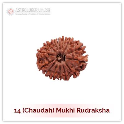 14 (Choudah) Mukhi Rudraksha