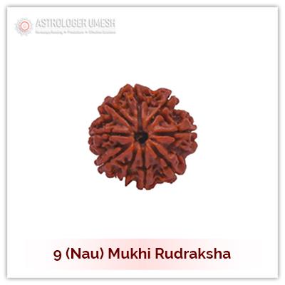 9 (Nau) Mukhi Rudraksha